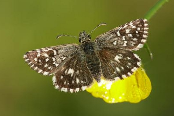 The Grizzled Skipper Butterfly