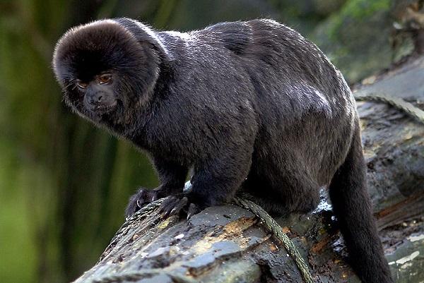 Goeldi Monkey