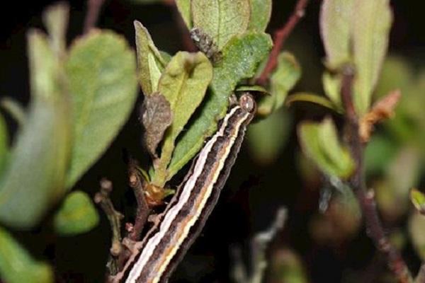 Rosy Marsh Moth Caterpillar