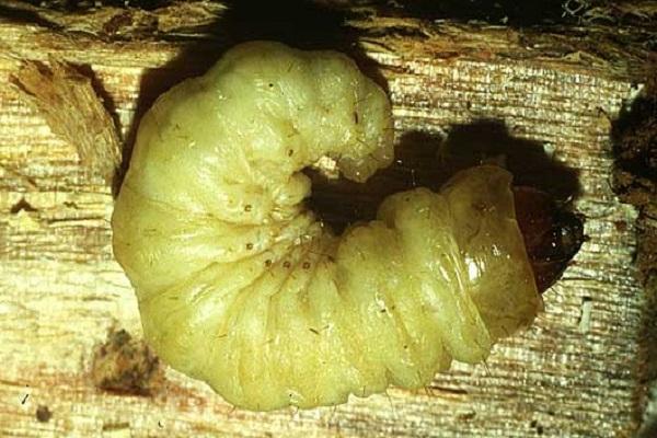 Lunar Hornet Moth Caterpillar