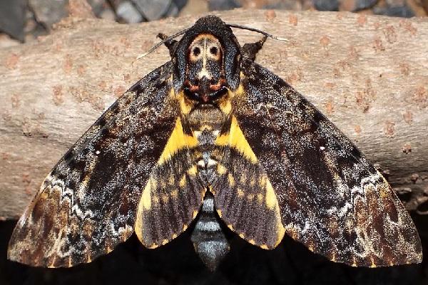 The Death's-head hawkmoth (Scientific Name: Acherontia)