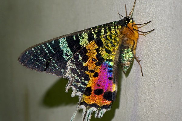 The Madagascan Sunset Moth (Scientific Name: Chrysiridia rhipheus)