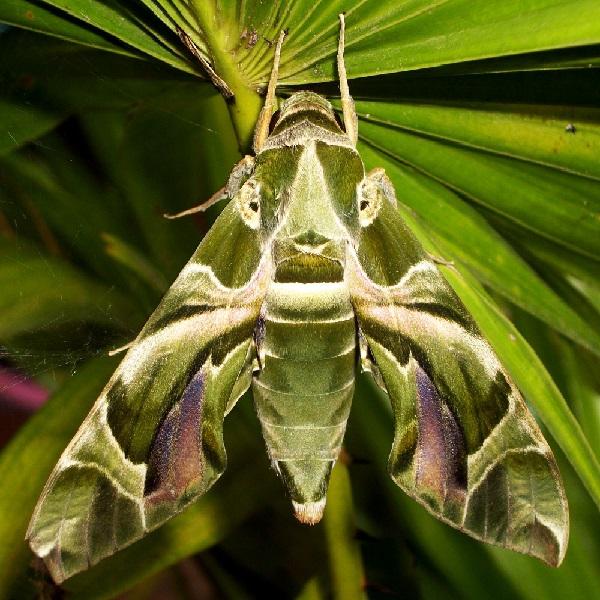 The Oleander Hawk-Moth (Scientific name: Daphnis Nerii)