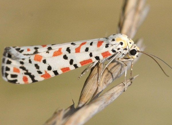 The Crimson-Speckled Flunkey Moth (Scientific name: Utetheisa pulchella)