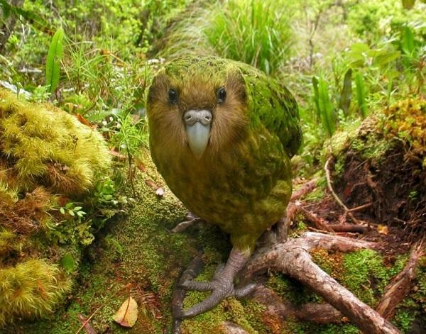 The kakapo (Strigops habroptilus)