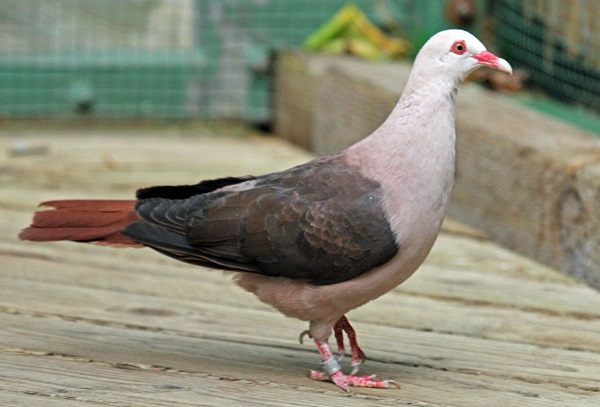 The Pink Pigeon (Nesoenas mayeri)