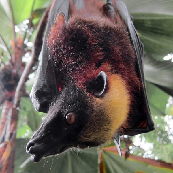 The Giant Golden-crowned Flying Fox (Acerodon Jubatus)