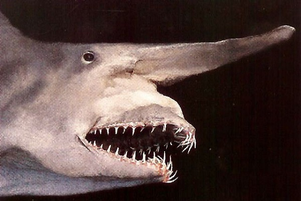 The Goblin Shark - Scientific name: Mitsukurina owstoni