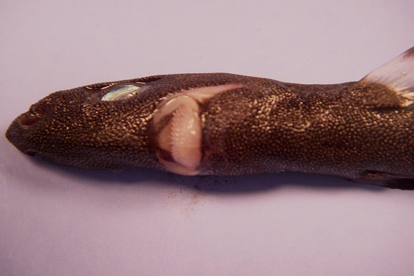 The Pygmy Shark - Scientific name: Euprotomicrus bispinatus