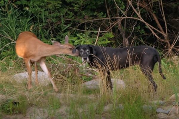 Dog – Gazelle Friendship