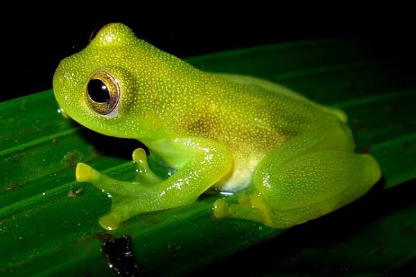 The Glass Frog (Scientific name: Centrolenidae)