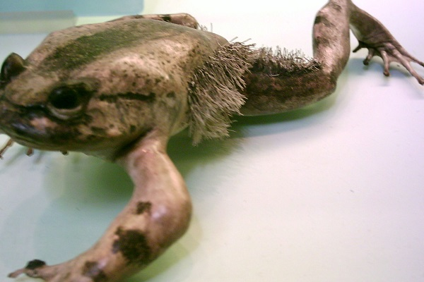 The Hairy Frog (Scientific name: Trichobatrachus robustus)