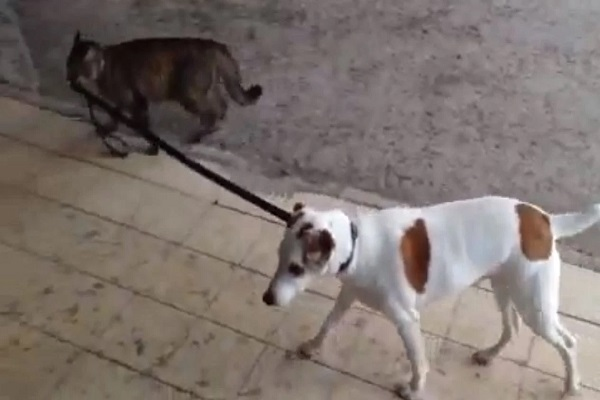Cat Walking a Dog