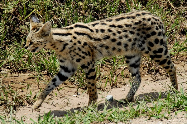 Did you know you can have a Serval Cat as a pet?