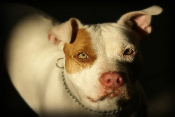 Differences Between a Blue Nose and a Red Nose Pit Bull