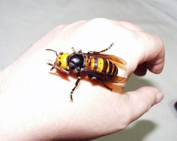 The World's Largest Wasp