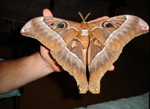 The World's Largest Moth