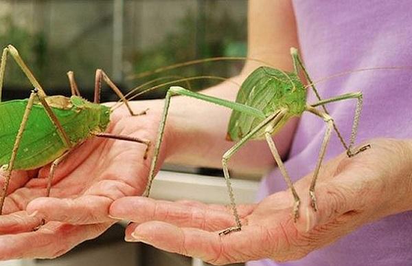 The World's Largest Grasshopper
