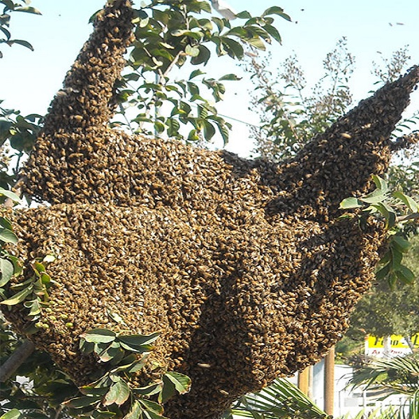 Biggest Swarm Of Bees Accumulated At A Time
