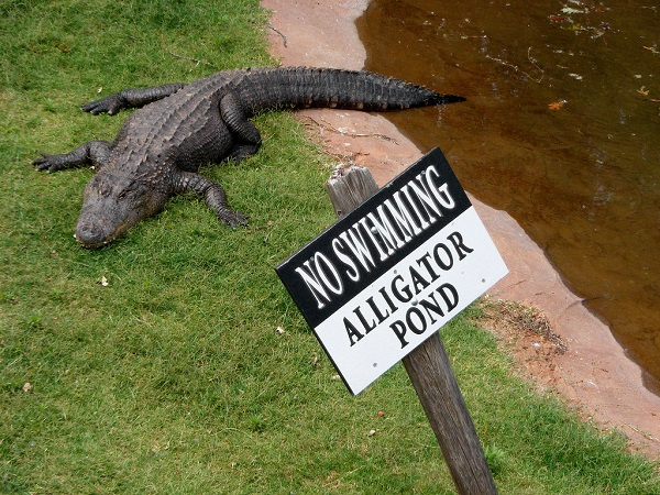 Got Trapped In An Alligator Pond