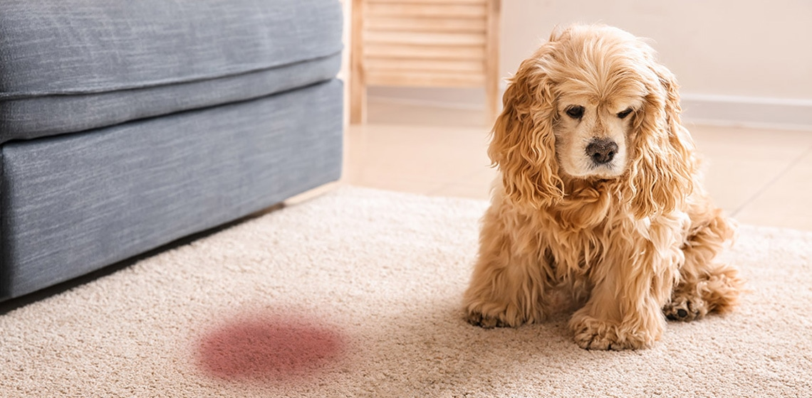 dog pee on the carper