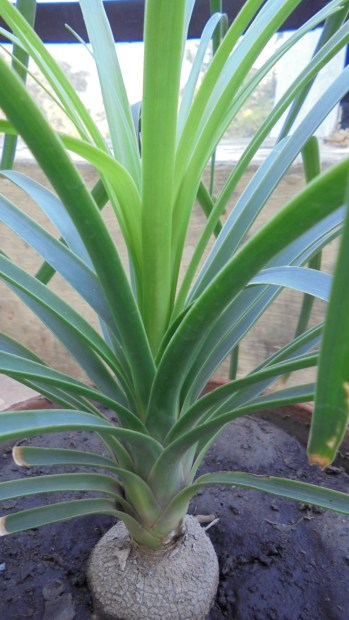 New shoots in Nolina palm
