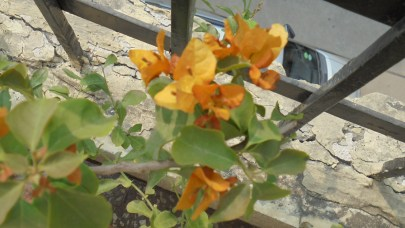 My yellow Bougainvillea