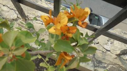 My yellow Bougainvillea