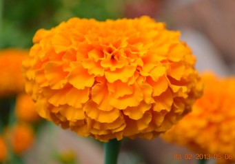 A beautiful saffron Marigold flower Image Source: https://agrawalsh.files.wordpress.com