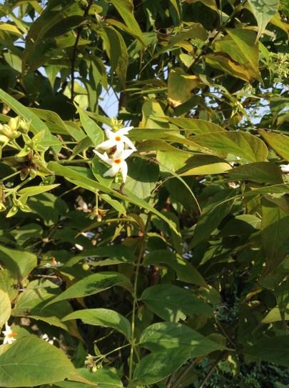 Harsingar Flowers on a tree