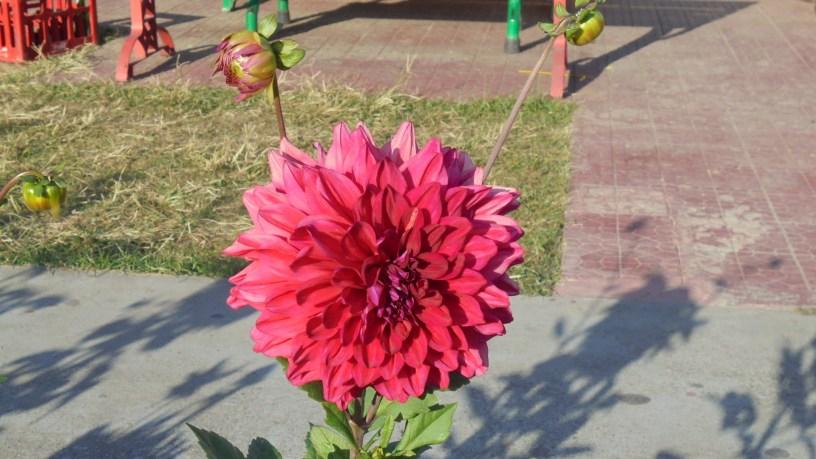 A deep red Dahlia flower in Dehradun, Uttarakhand, India