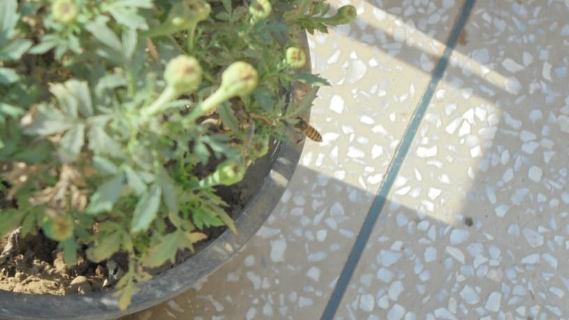 Bee of Marigold Plant