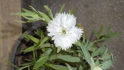 A white Dianthus bloom on the same set of plants