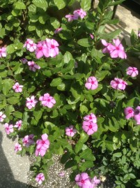 Lilac Sadabahar
