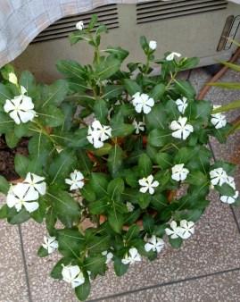 White Sadabahar