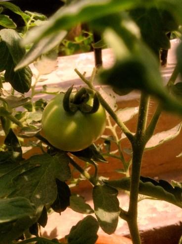 12. Green tomato inside foliage