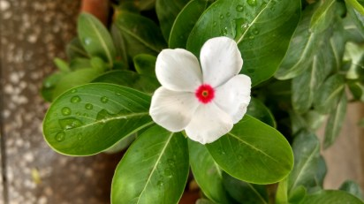 Lovely Red dotted white Sadabahar