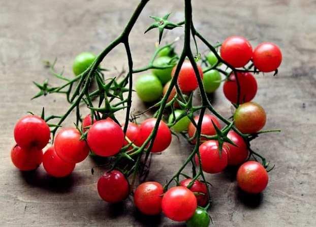 American Artisans SmartSeeds Mexican Midget Tomatoes