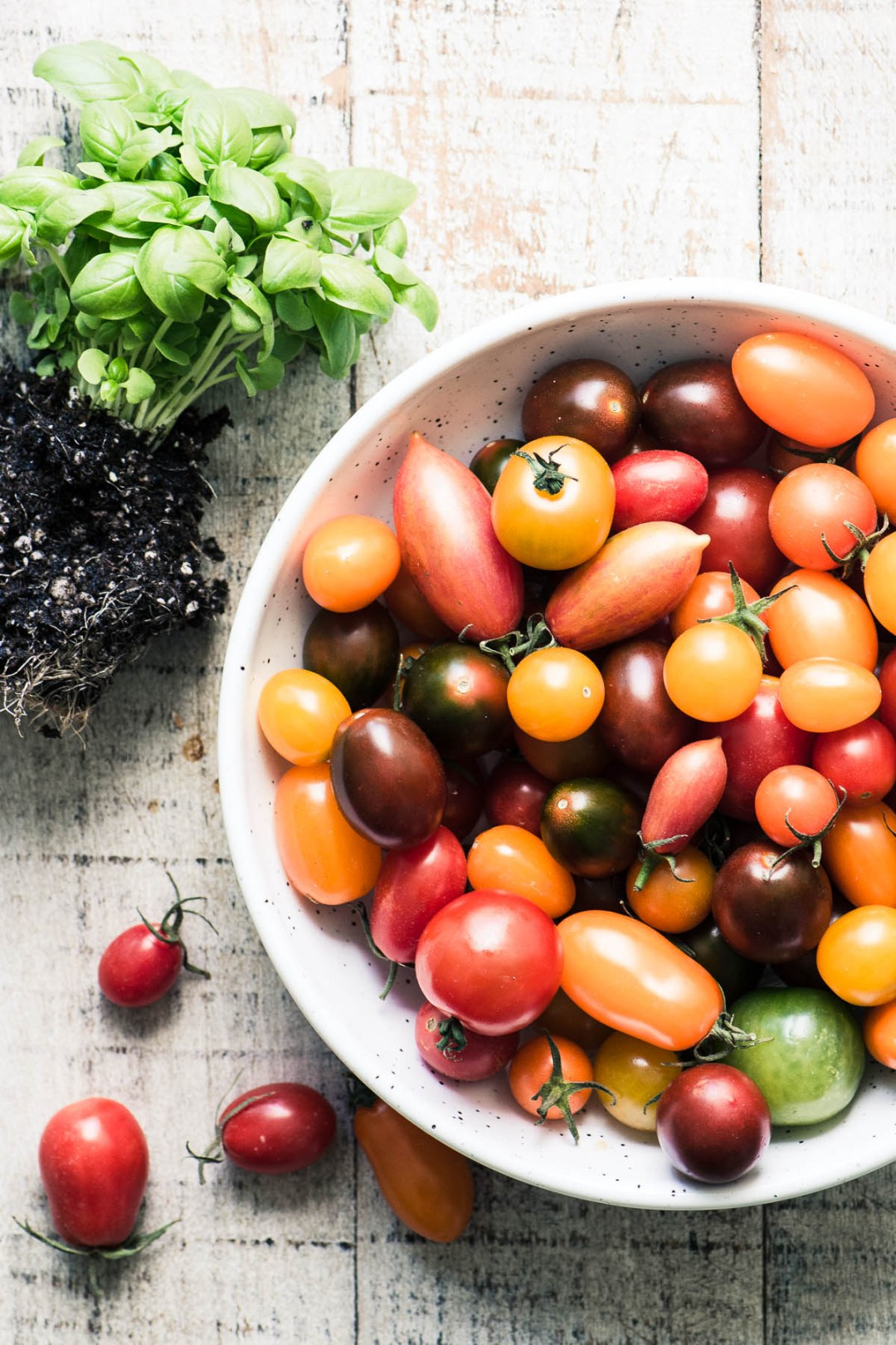 Heirloom cherry tomatoes in a white bowl with basil seedlings