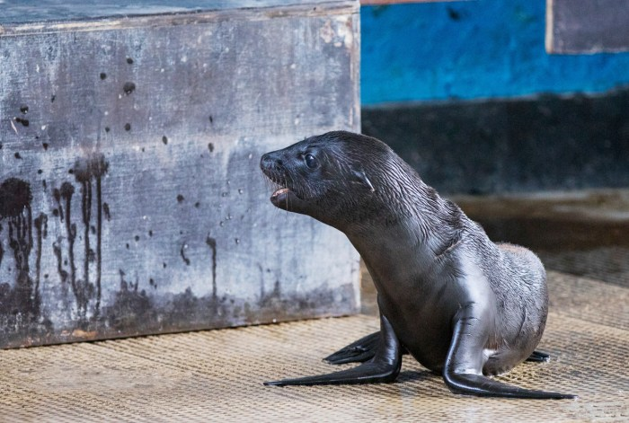 Sea Lion Pups Make A Splash At ZSL Whipsnade Zoo Oakley