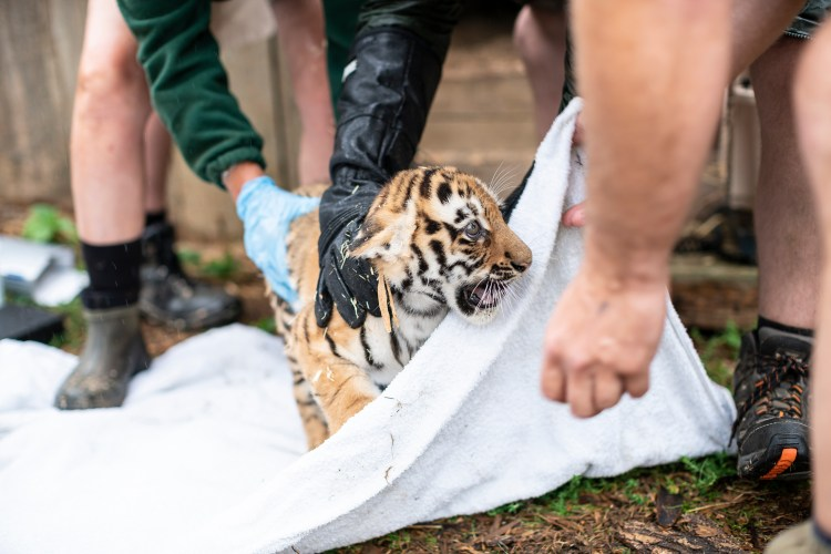 Up-Close As Tiger Cubs Get First Health Checks At ZSL Whipsnade Zoo