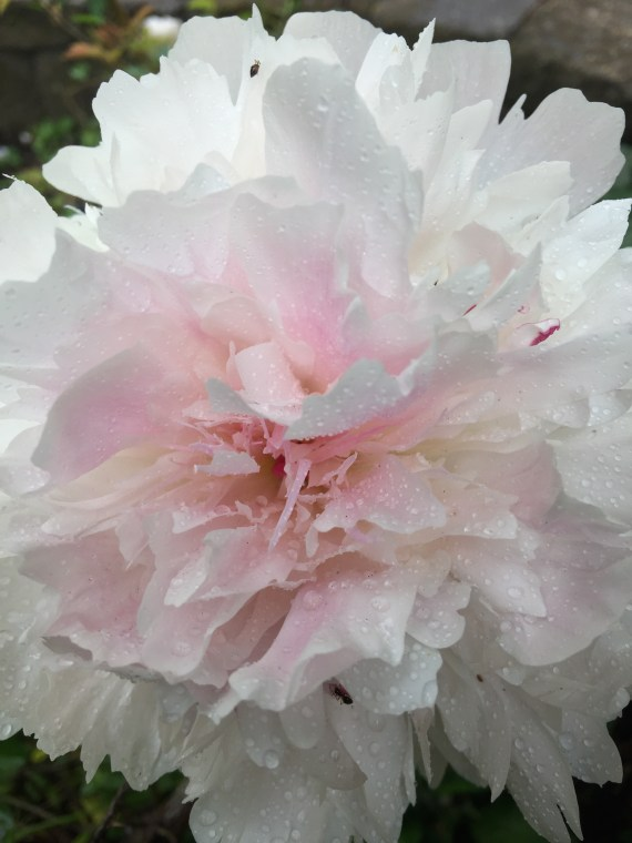 PEONY in ACTION!