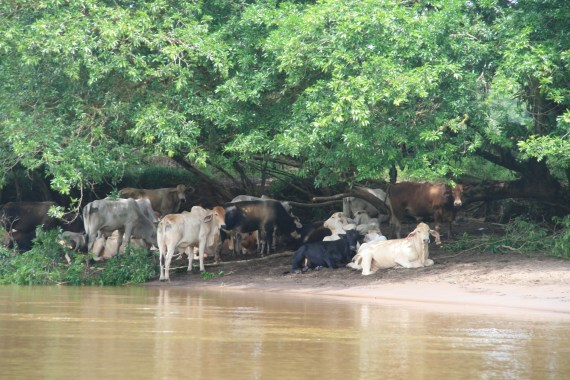 COWS on the river