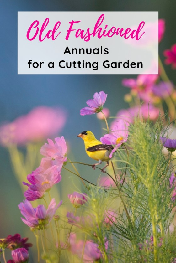 These 5 Old Fashioned Annuals are perfect for your cutting garden. Easy to grow, you will have a supply of fresh flowers all summer for easy bouquets, and stunning arrangements.
