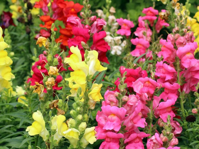 Yellow, pink and orange snapdragon flowers in full bloom in a garden.
