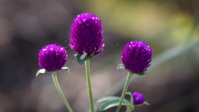 Dark Purple Globe Amaranth flowers.