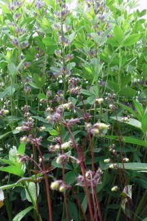 """Summer 2011 and Baptisia 'Prairie Blues' has grown to """"shrub-sized proportions"""" as its description promised. Its showy seed pods offer seasonal interest."""