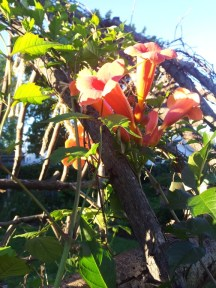 What hummingbird could resist these trumpet (Campsis 'Flamenco') blooms? And lucky for them, they bloom earlier in the season than most annual vines.