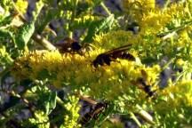 Wasps on Solidago rugosa 'Fireworks.'