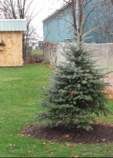 """A little bit of that """"groundwork,"""" my first tree, a Colorado Blue Spruce. I wanted an evergreen """"anchor"""" for all seasons. Spring 2009."""